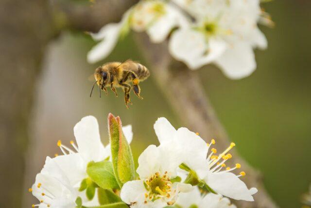 abeille-pxhere.cc0-