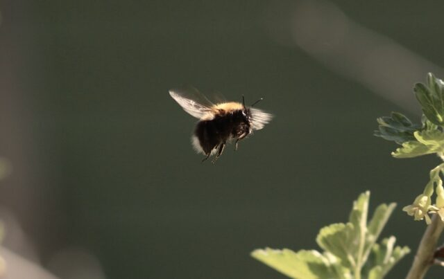 abeille-c-sauvage-anna-ilarionova-de-pixabay-copie-1